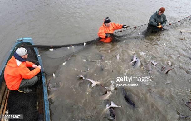 November 2020, Mecklenburg-Western Pomerania, Boek: In the Teichwirtschaft Boek of the Fischerei Müritz-Plau GmbH caviar sturgeons are fished. If a...