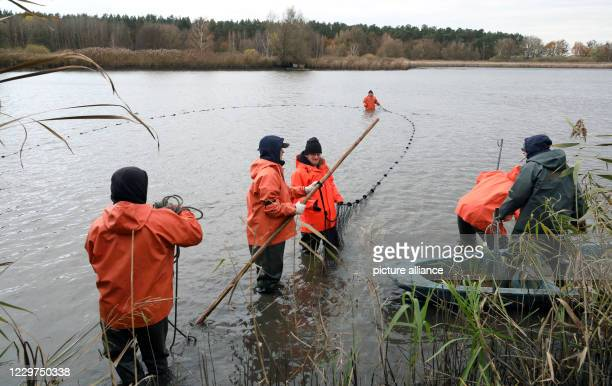 November 2020, Mecklenburg-Western Pomerania, Boek: In the Teichwirtschaft Boek of the Fischerei Müritz-Plau GmbH caviar sturgeons are fished. If a...