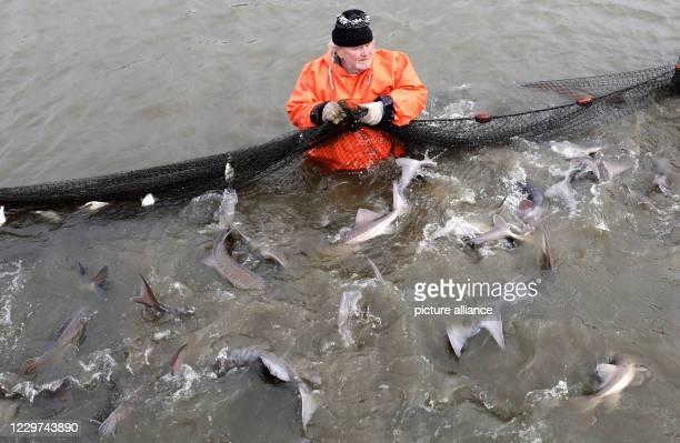 November 2020, Mecklenburg-Western Pomerania, Boek: When fishing the caviar sturgeons in the Teichwirtschaft Boek of the Fischerei Müritz-Plau GmbH,...