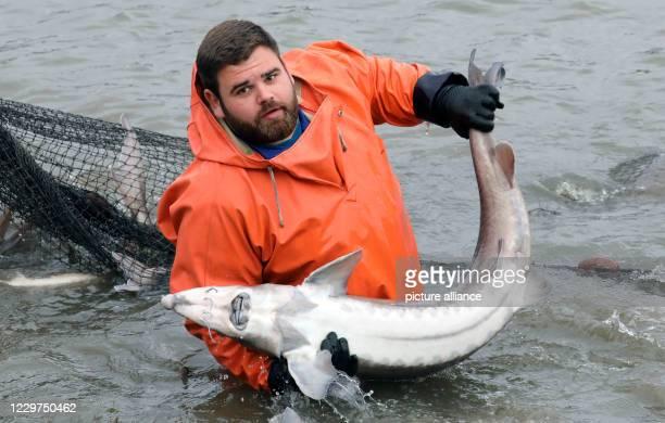 November 2020, Mecklenburg-Western Pomerania, Boek: While fishing the caviar sturgeons in the pond economy Boek of the fishery Müritz-Plau Kurt Wolk...