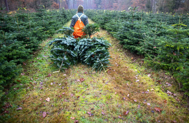 DEU: Start Of Christmas Tree Felling