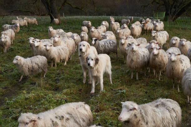 DEU: Pyrenean Mountain Dogs Guard A Flock Of Sheep