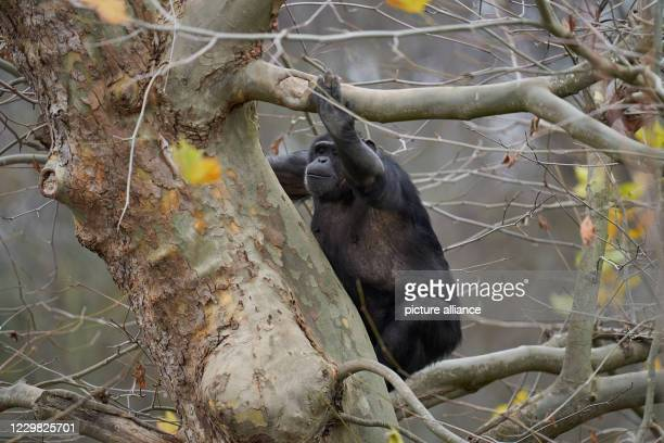 November 2020, Rhineland-Palatinate, Neuwied: A chimpanzee climbs on an autumnally bare tree in Neuwied Zoo. Due to the corona-related partial...