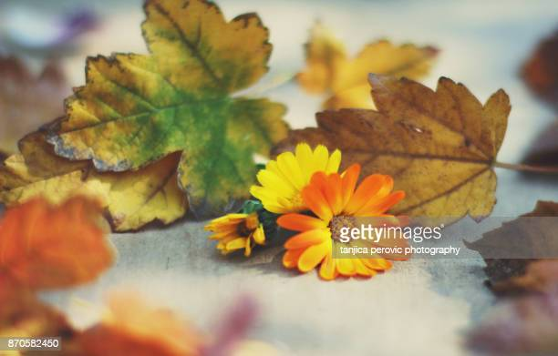november marigolds - pot marigold stock pictures, royalty-free photos & images