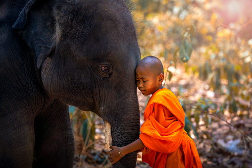 Novices or monks hug elephants. Novice Thai standing and big elephant with forest background. , Tha Tum District, Surin, Thailand. 1161929156