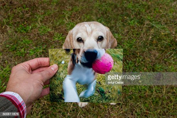 now and then. comparison of a senior beagle with his photograph when he was a puppy. - blickwinkel aufnahme stock-fotos und bilder