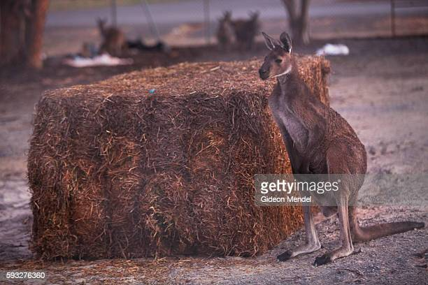 Now safe from floodwaters this kangaroo gets used to it's new temporary home and has some hay to eat Yarriambiack Creek flows through Warracknabeal...