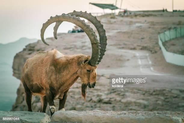 Nubian ibex in Negev desert
