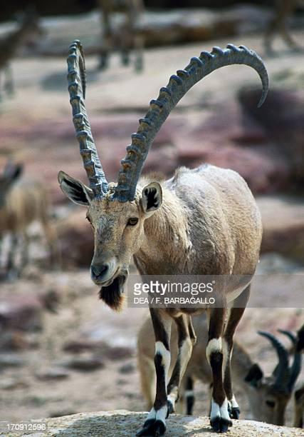 Nubian Ibex Mujib Biosphere Reserve Jordan