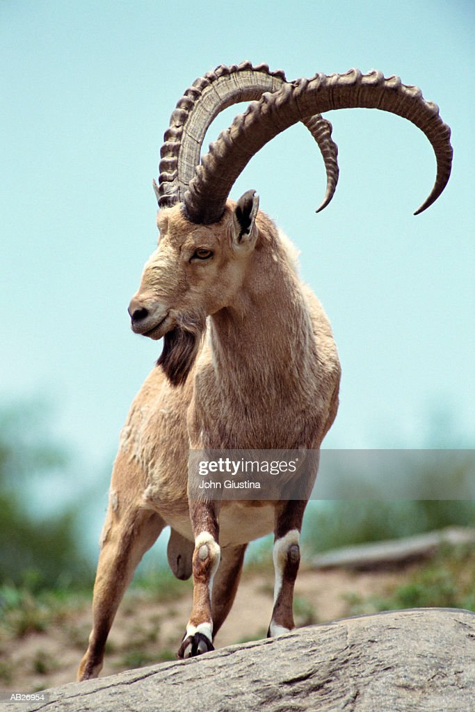 Nubian Ibex (Capra nubiana) : Stock Photo