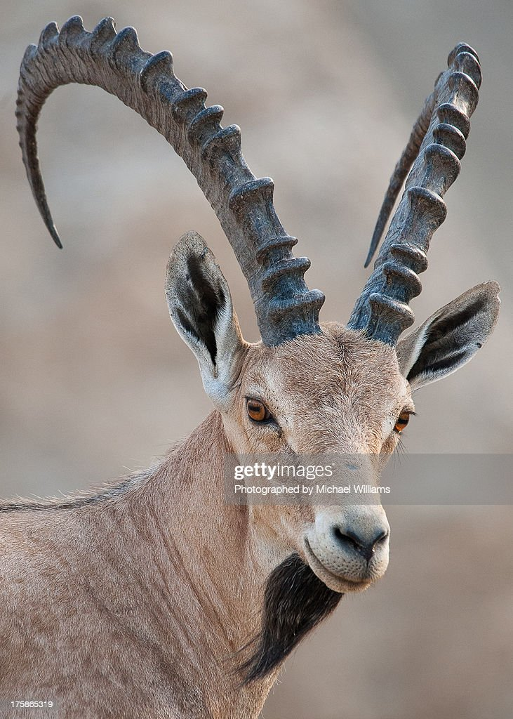 Nubian Ibex - The Dead Sea : Stock Photo