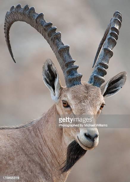 Nubian Ibex - The Dead Sea