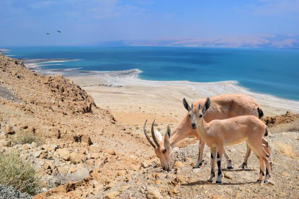 Nubian Ibex with young in seaside, Arab ar Rashāydah, Palestine