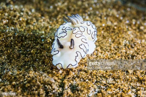 Nudibranch  ( Glossodoris atromarginata Cuvier, 1804) crawling on sandy ocean floor