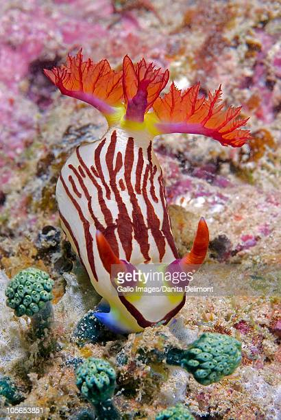 nudibranch mollusk on coral, raja ampat islands, irian jaya, west papua, indonesia - raja ampat islands stock photos and pictures