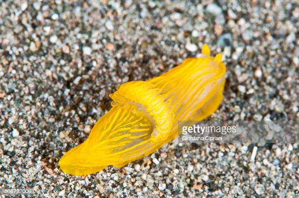 nudibranch - mollusca stock photos and pictures