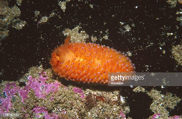 Nudibranch Undescribed Janolus species Waterfall Bay Tasmania Australia