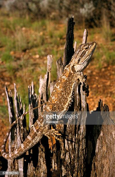 Nullarbor bearded dragon Pogona nullarbor on tree stump Naretha KalgoorlieBoulder region Western Australia Australia