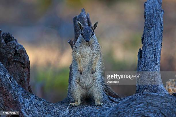 Numbat, Myrmecobius fasciatus, female standing upright with underdeveloped pouch visible. Young Numbats cling to teats inside the pouch for the first...