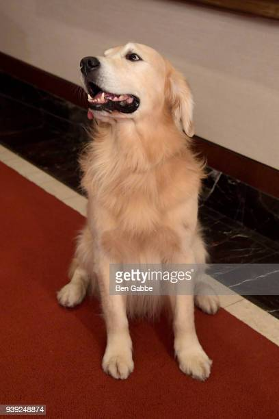 Number 3 a Golden Retriever of The American Kennel Club's Most Popular Breeds Nationwide for 2017 is shown at AKC Headquarters on March 28 2018 in...
