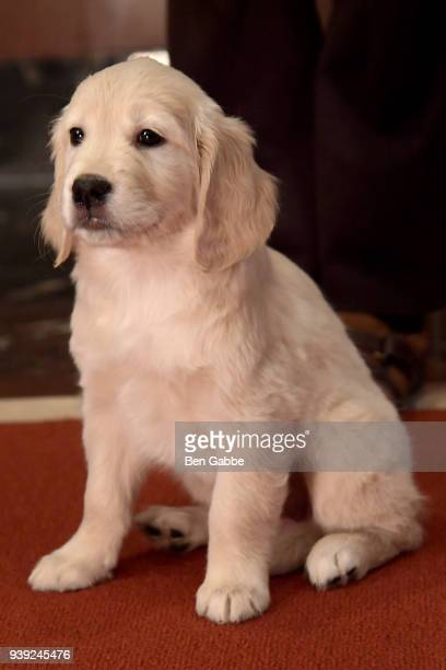Number 3 a Golden Retriever puppy of The American Kennel Club's Most Popular Breeds Nationwide for 2017 is shown at AKC Headquarters on March 28 2018...