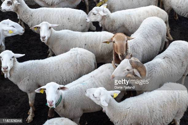 a number of white sheep looking at the camera - dorte fjalland imagens e fotografias de stock