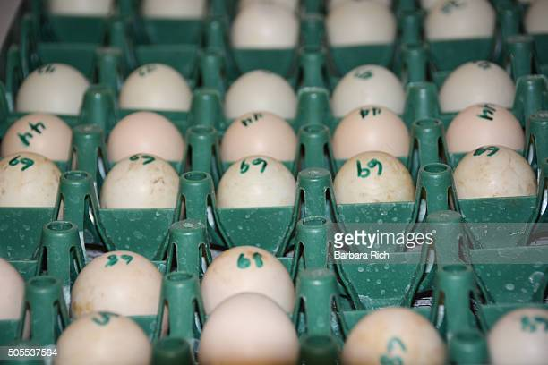 Numbered eggs being heated in the incubator trays
