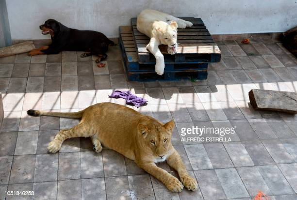 Numbi and Gorda rest in the terrace roof of their owner's house during an interview with AFP in Asturias neighbourhood in Mexico City on October 10...