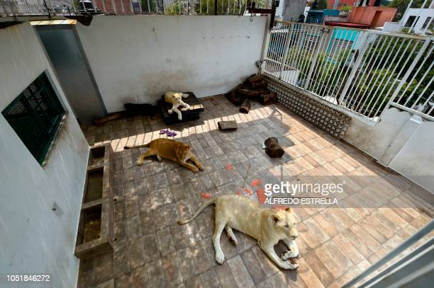 Numbi Gorda and Nojoch rest in the terrace roof of their owner's house during an interview with AFP in Asturias neighbourhood in Mexico City on...