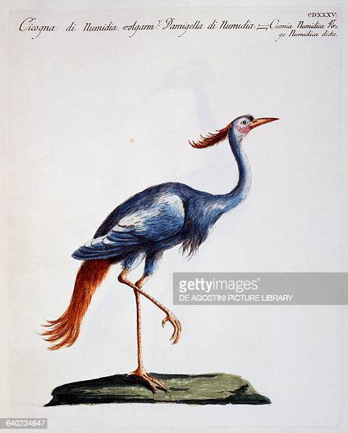 Numidian crane called Demoiselle crane coloured etching by Lorenzo Lorenzi and Violante Vanni from Natural history of birds 17671776 by Saverio...