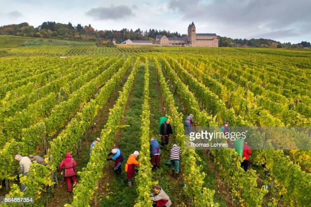 Nuns of St Hildegard Abbey and volunteers harvest grapes for their annual vintage on October XX 2017 near Rudesheim on the Rhine Germany The St...