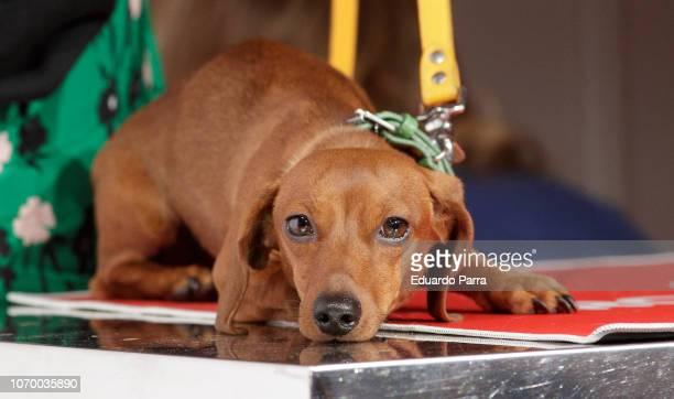 Nuria Roca's teckel dog Pepita attend the 'Royal Canin' photocall at Mr Fox studio on November 20 2018 in Madrid Spain