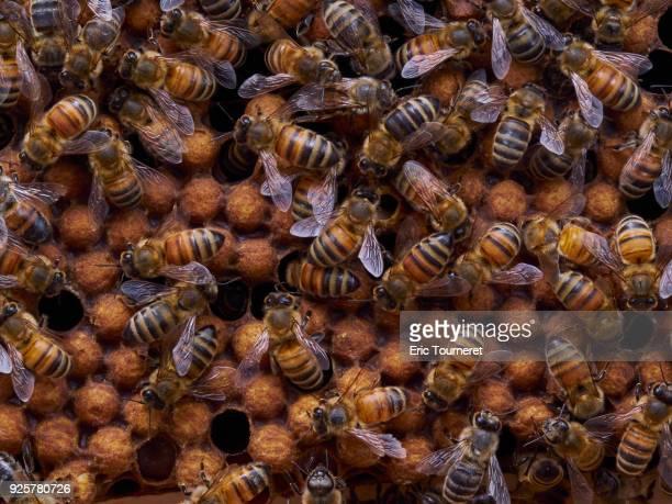 Nurse honey bees