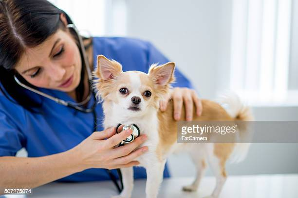 Nurse Listening to a Dog's Heartbeat