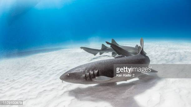 nurse shark, alice town, bimini, bahamas - nurse shark stock photos and pictures