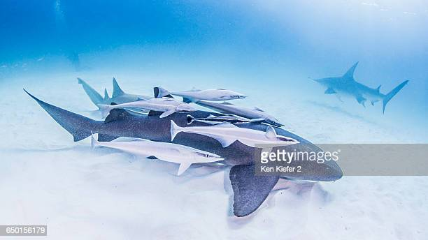 Nurse Shark covered in remoras with Great Hammerhead Shark in background
