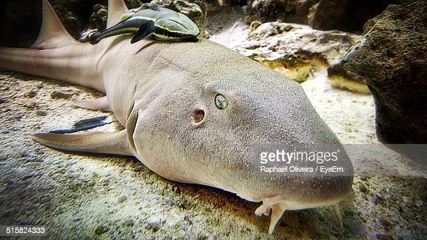 nurse shark in sea - nurse shark stock photos and pictures