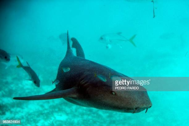 A Nurse Shark is seen at the Hol Chan Marine Reserve coral reef in the outskirts of San Pedro village in Ambergris Cay Belize on June 7 2018 Backed...