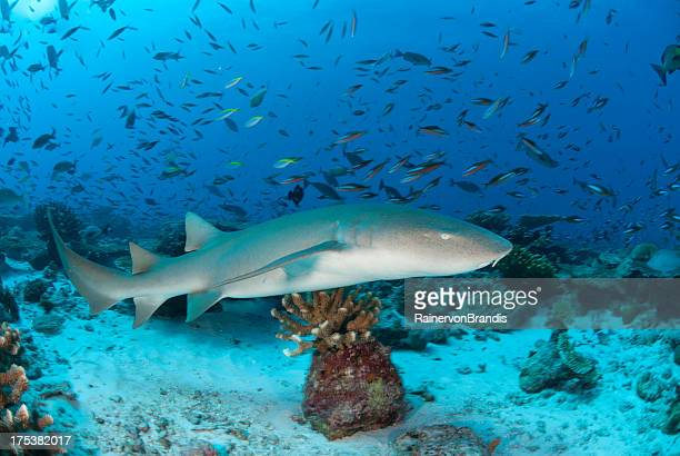 nurse shark on coral reef - nurse shark stock photos and pictures