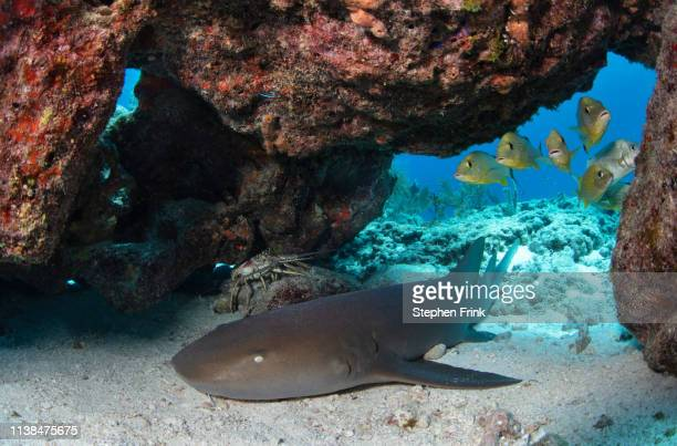 nurse shark rests under a coral ledge. - nurse shark stock photos and pictures