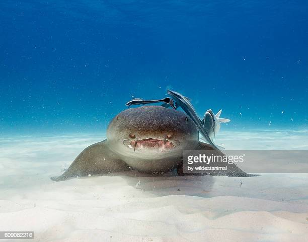 nurse shark underwater - nurse shark stock photos and pictures