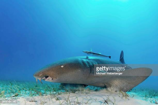 nurse shark (ginglymostomatidae) with cleaner remora (echeneidae), sandy ocean floor, bahamas - nurse shark stock photos and pictures