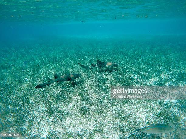 nurse sharks - nurse shark stock photos and pictures