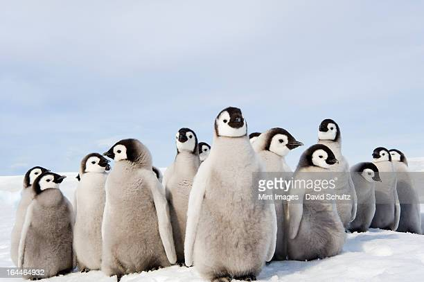 a nursery group of emperor penguin chicks, huddled together, looking around.  a breeding colony. - pinguïn stockfoto's en -beelden