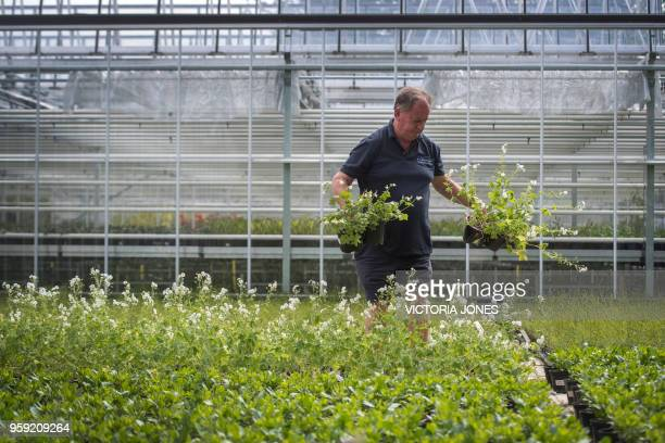 Nursery manager Mike Jones inspects some Dusky Cranesbill geraniums which are being grown for the wedding of Britain's Prince Harry and Meghan Markle...