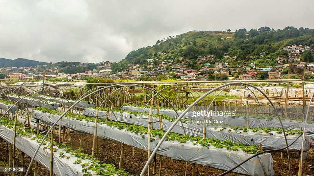 Nursery of plants at the strawberry farm in Baguio, Philippines : Stock Photo