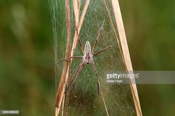 Nursery web spider -Pisaura mirabilis-, Allgaeu region, Bavaria, Germany, Europe