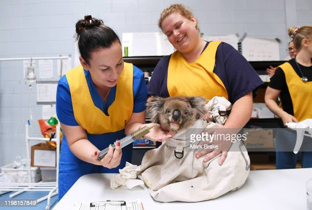 Nurses feed an injured male koala at Adelaide Koala Rescue which has been set up in the gymnasium at Paradise Primary School in Adelaide on January...