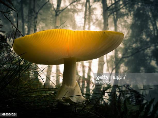 Nushroom
