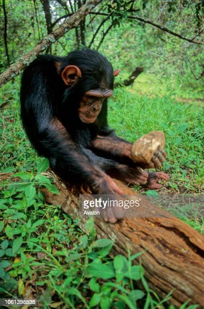 Nut cracking by sanctuary Chimpanzee in Kenya Date 250608